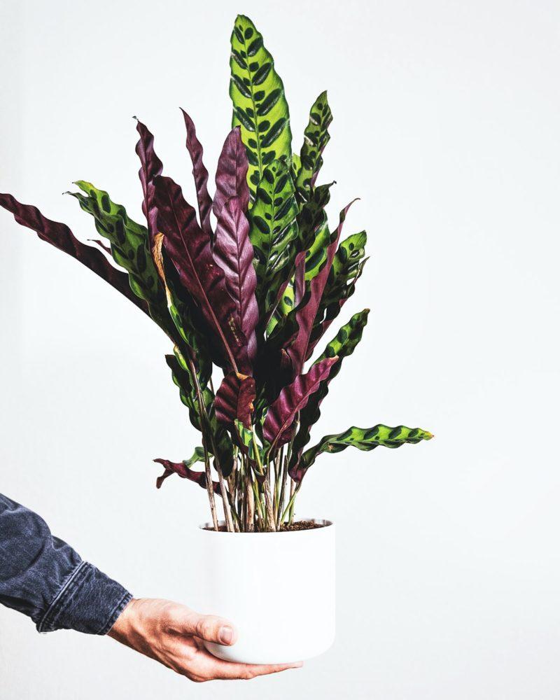 easy houseplants calathea prayer plants