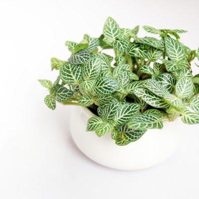 easy houseplants fittonia