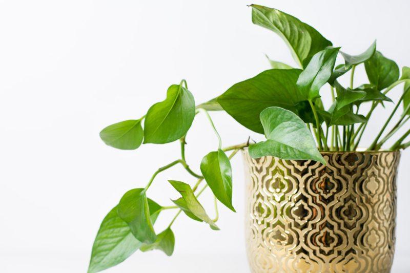 easy houseplants pothos